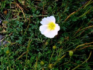 Alpine poppy